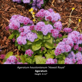 ageratum_houstonianum_hawaii_royal