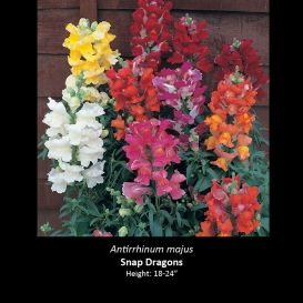antirrhinum_majus_snap_dragon