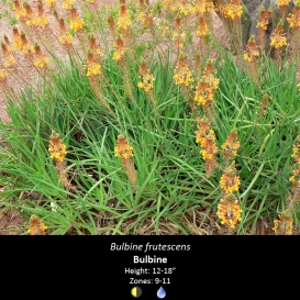 bulbine_frutescens