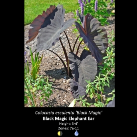 colocasia_esculenta_black_magic