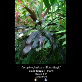 cordyline_fruticosa_black_magic