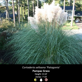 cortaderia_selloana_pampass
