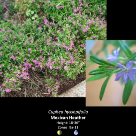 cuphea_hyssopifolia_mexican_heather