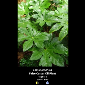 fatsia_japonica_false_caster_oil_plant