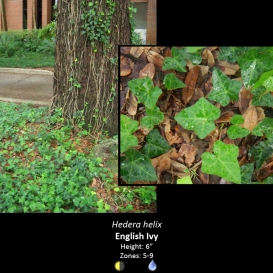 hedera_helix_english_ivy