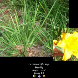 hermerocallis_spp-_daylilly