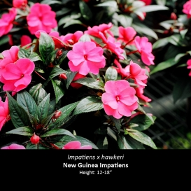 impatiens_x_hawkeri_new_guinea