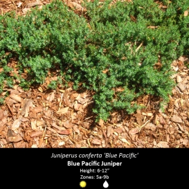 juniperus_conferta_blue_pacific