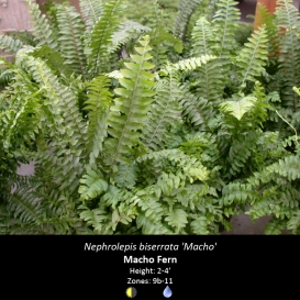nephrolepis_biserrata_macho_fern