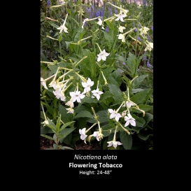 nicotiana_alata_flowering_tobacco