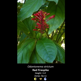 odontonema_strictum_red_firespike