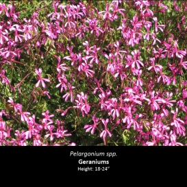 pelargonium_spp-_geraniums