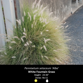 pennisetum_setaceum_white_fountain