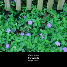 vinca_minor_periwinkle