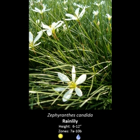 zephyranthes_candida_rain_lilly
